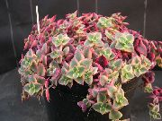 Crassula wit Plant