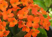 Kalanchoe orange Anlegg