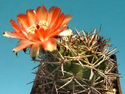 Acanthocalycium orange Anlegg