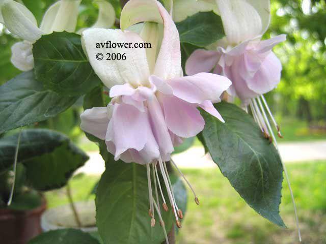 домашние цветы фуксия