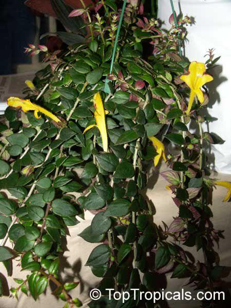 растение с маленькими листьями фото