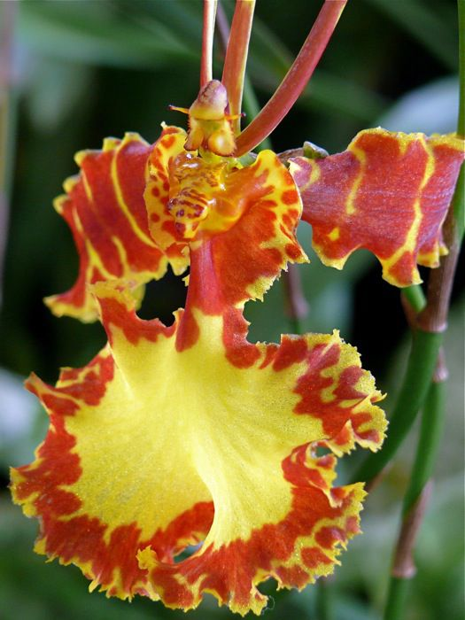Room Flowers Dancing Lady Orchid Cedros Bee Leopard Oncidium
