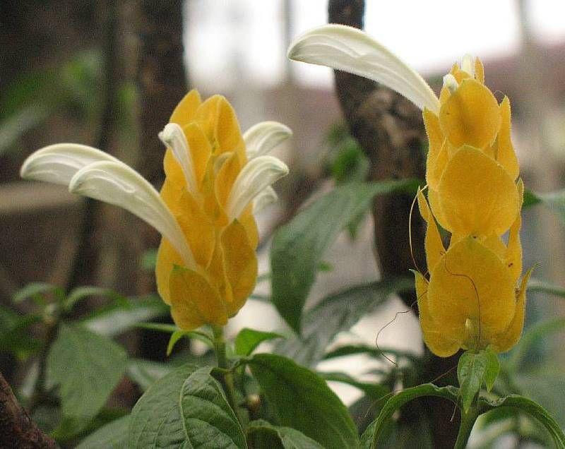 Цветы на букву п и фото