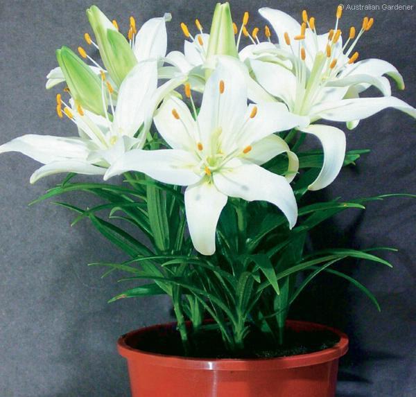 Белая лилия в домашних условиях 106