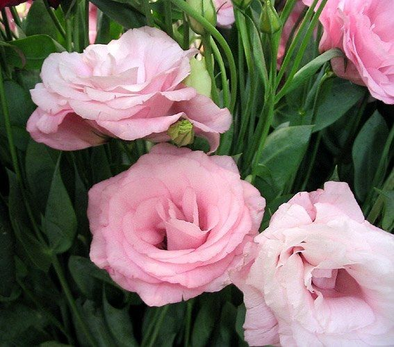 Room flowers texas bluebell lisianthus tulip gentian lisianthus room flowers texas bluebell lisianthus tulip gentian lisianthus eustoma color pink mightylinksfo