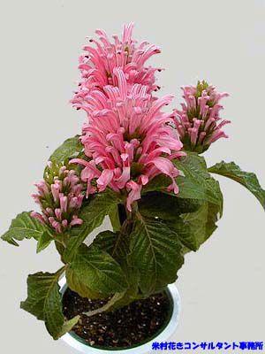 Цветок якобиния