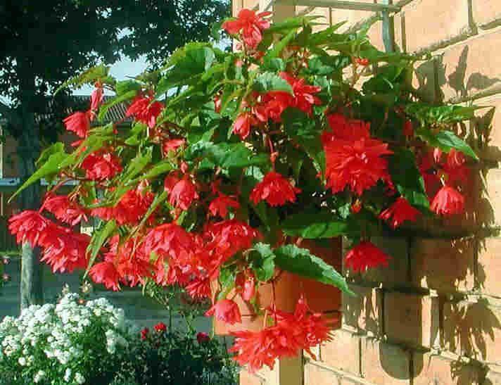 Бегония Бегония клубневидная - Begonia ...: zvetki.ru/rf35-begonia.htm