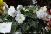 Бегония Begonia Nonstop White