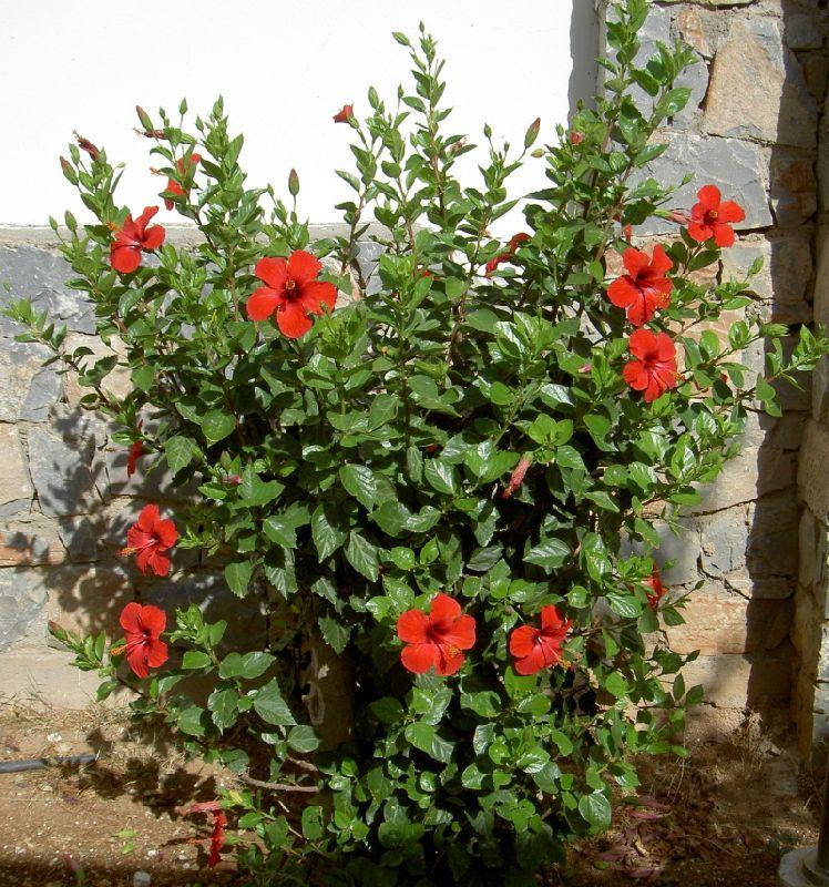 Сирийская роза выращивание в комнатных условиях 87