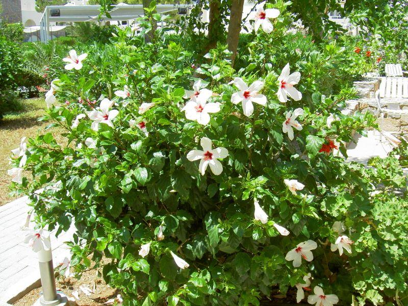 Сирийская роза выращивание в комнатных условиях 5