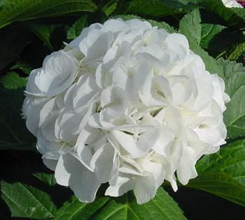 Гидрангея гортензия садовая hydrangea