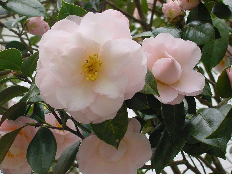 камелия цветок уход фото