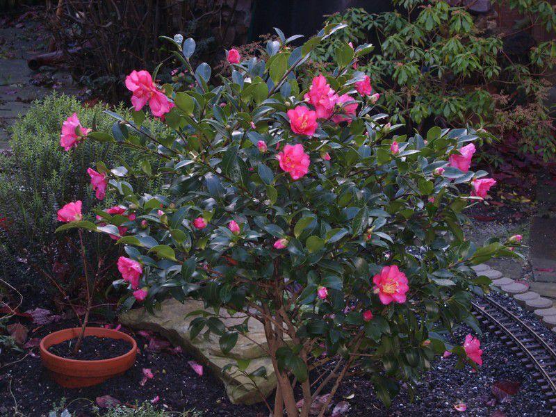 ... , семена - комнатные цветы, Camellia: zvetki.ru/rf66-camellia.htm
