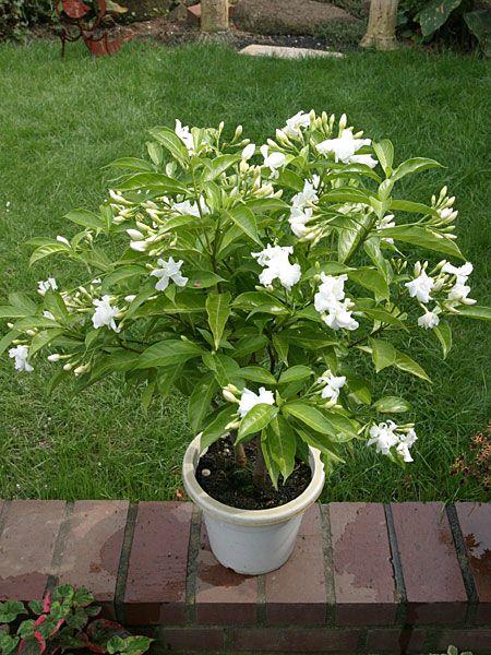 Цветок табернемонтана