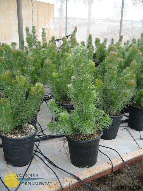 Verde plantas de interior arbusto lanoso costera - Arbustos de interior ...