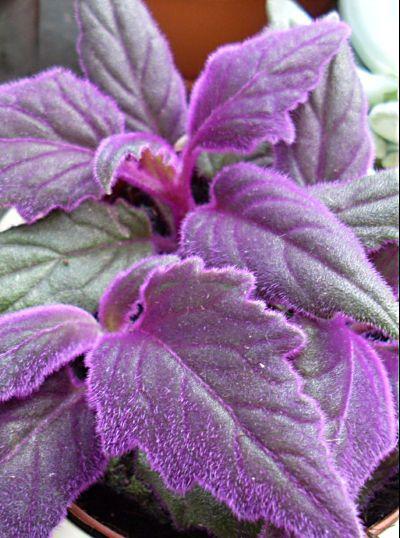 Gynura - How to Grow Velvet Plant Indoors - The Spruce
