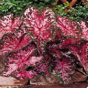 Caladium bordo augalas
