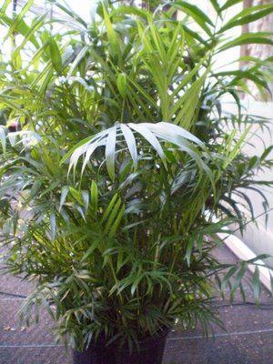 Indendors Planter Bambus Palme Chamaedorea Foto Egenskaber Og